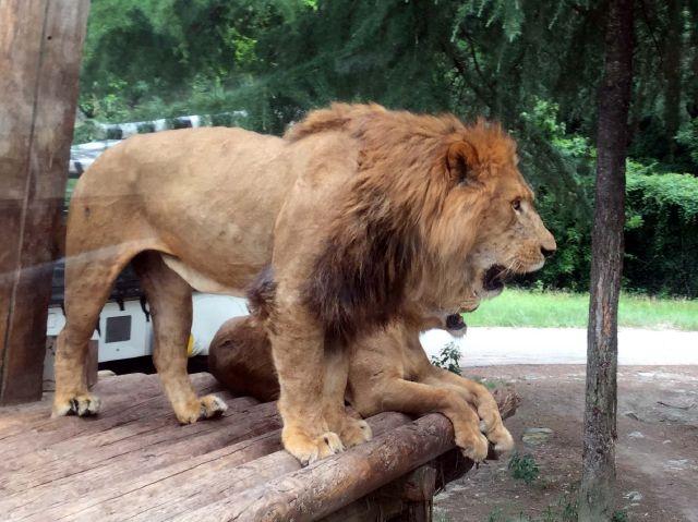 ライオンゾーンのライオン